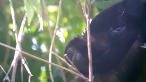 Central America howler monkey taking a nap